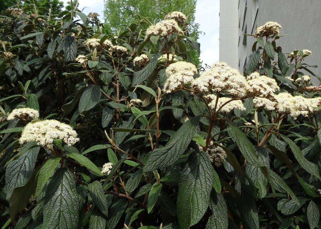 Runzelblättriger Schneeball (Viburnum rhytidophyllum)