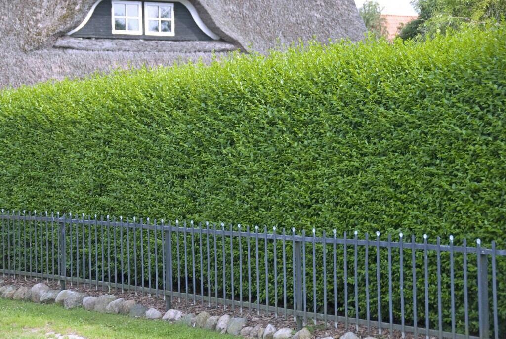 Blickdichte Hecke: Gemeiner Liguster (Ligustrum vulgare)