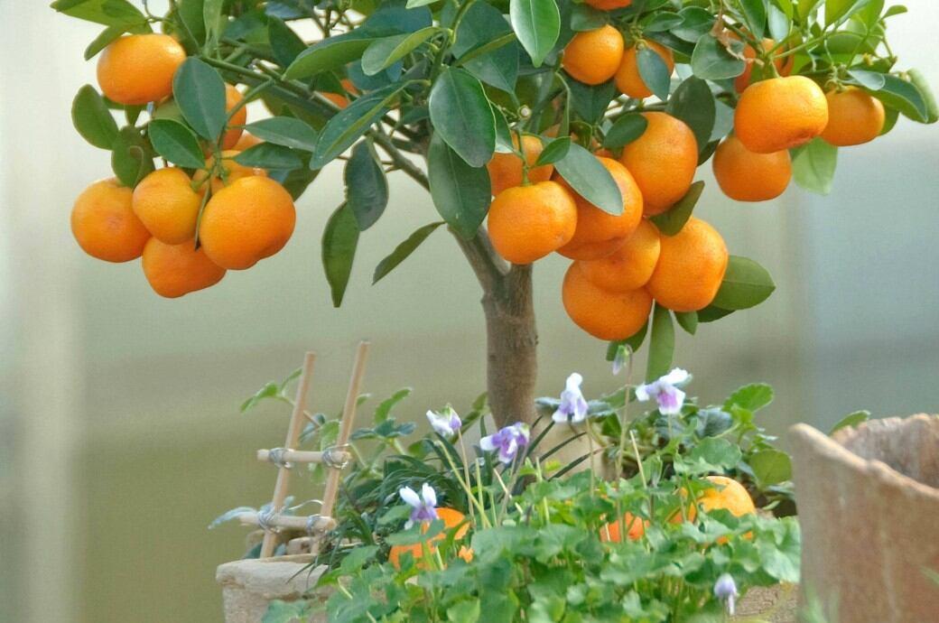 Orangenbaum im Kübel