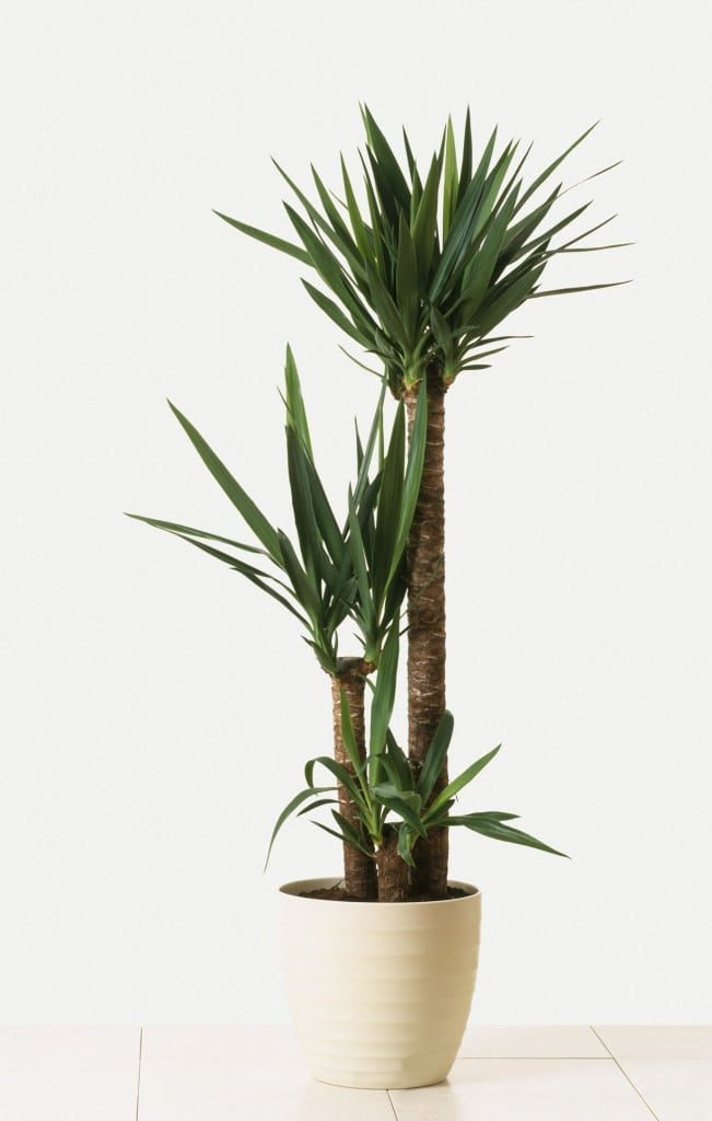 Pflegeleichte Zimmerpflanzen: Yucca