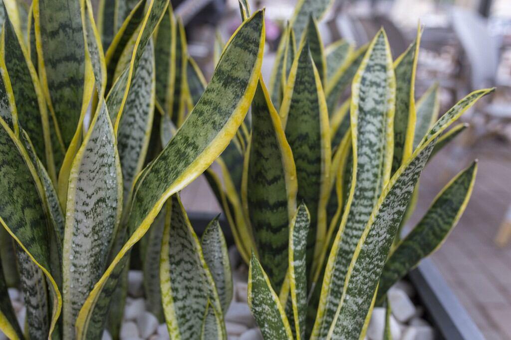 Pflegeleichte Zimmerpflanzen: Bogenhanf (Sansevieria)