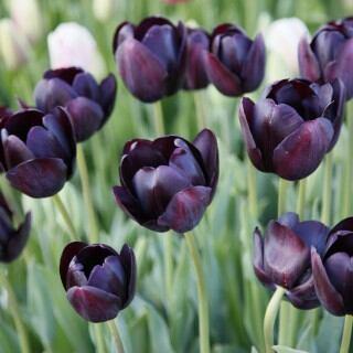 Tulpe (Tulipa) 'Queen of Night'