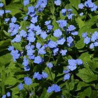 Blühende Schattenpflanzen: Gedenkemein, Omphalodes verna
