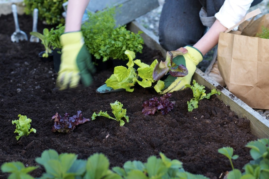 Garten im März: Kopfsalat aussetzen