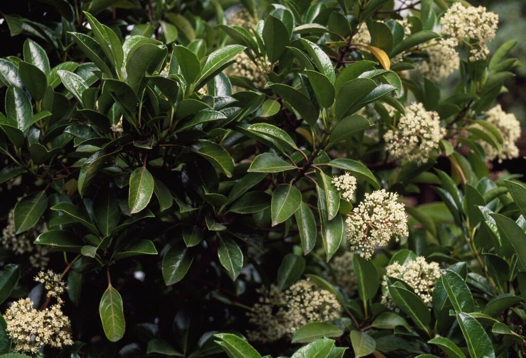 Blickdichte Hecke: Kirschlorbeer (Prunus laurocerasus)
