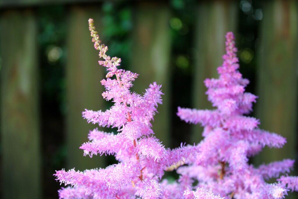 Blühende Schattenpflanzen: Prachtspieren (Astilbe)