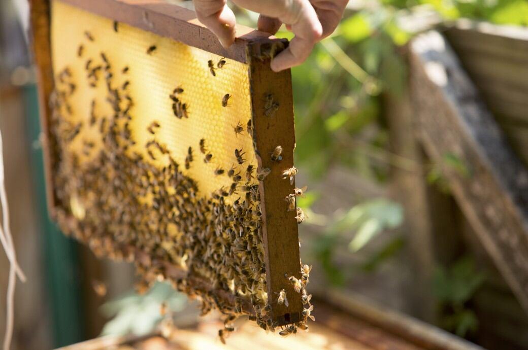 Imkern: Bienen und mit Honig gefüllte Waben
