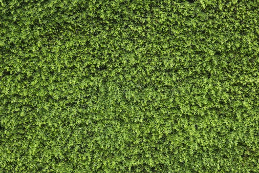 Blickdichte Hecke: Eibe, Taxus baccata