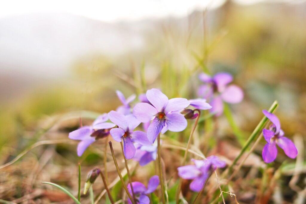 Frühblüher: Duftveilchen (Viola odorata)