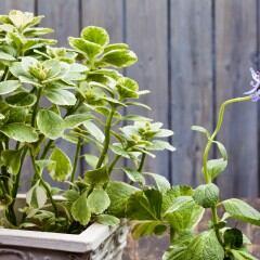 Verpiss-dich-Pflanze (Plectranthus caninus)