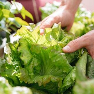 Ernte verschiedener Salatsorten