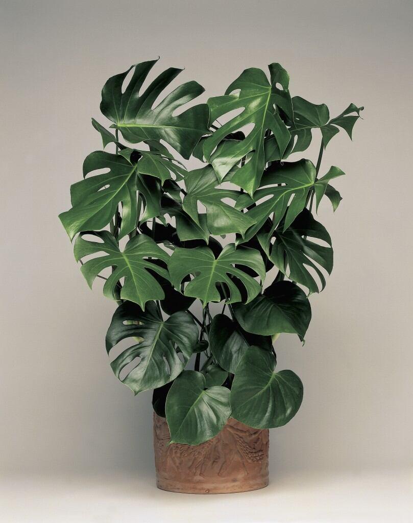 Pflegeleichte Zimmerpflanzen: Monstera