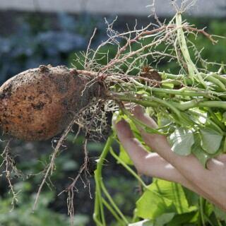 Frisch geerntete Süßkartoffel