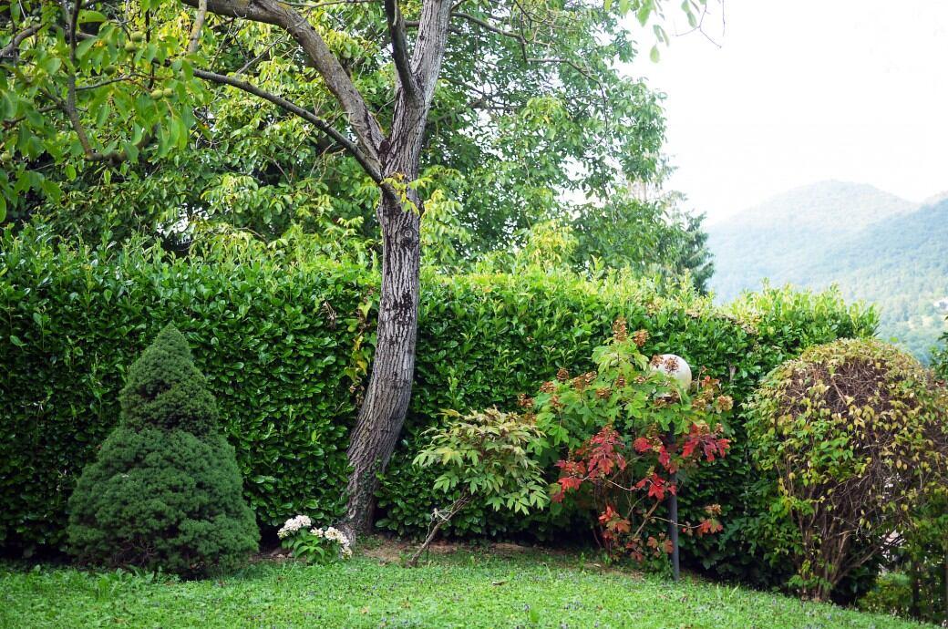 Blickdichte Hecke: Kirschlorbeerhecke als Sichtschutz