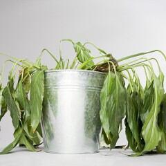 Mit der falschen Pflege können Zimmerpflanzen schnell eigehen