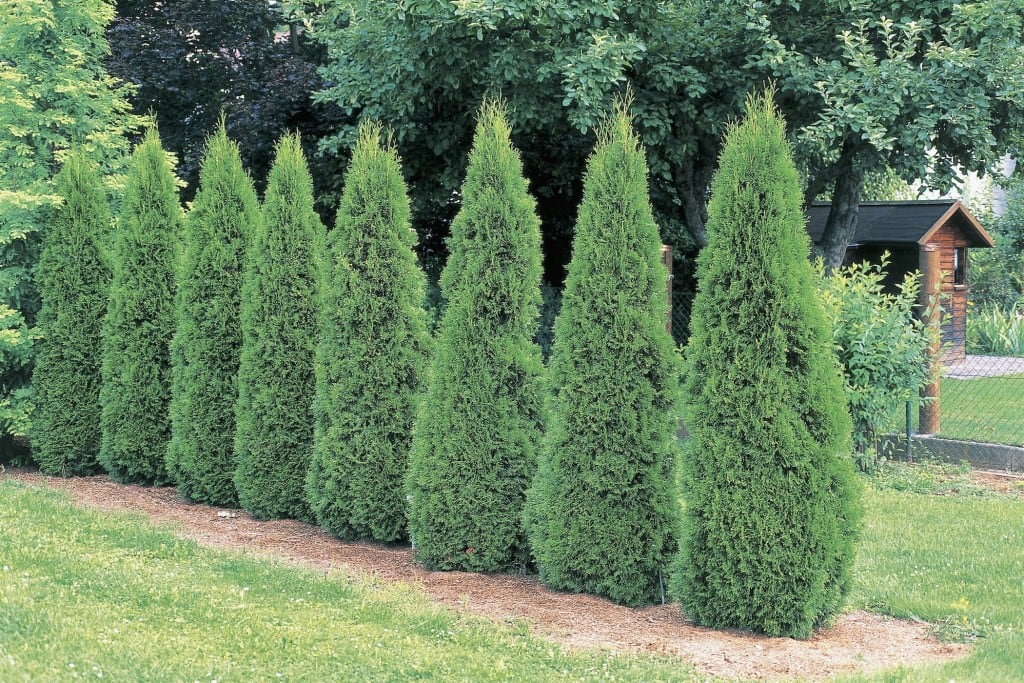 Der Lebensbaum (Thuja occidentalis)