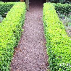 Der Buchsbaum (Buxus sempervirens)