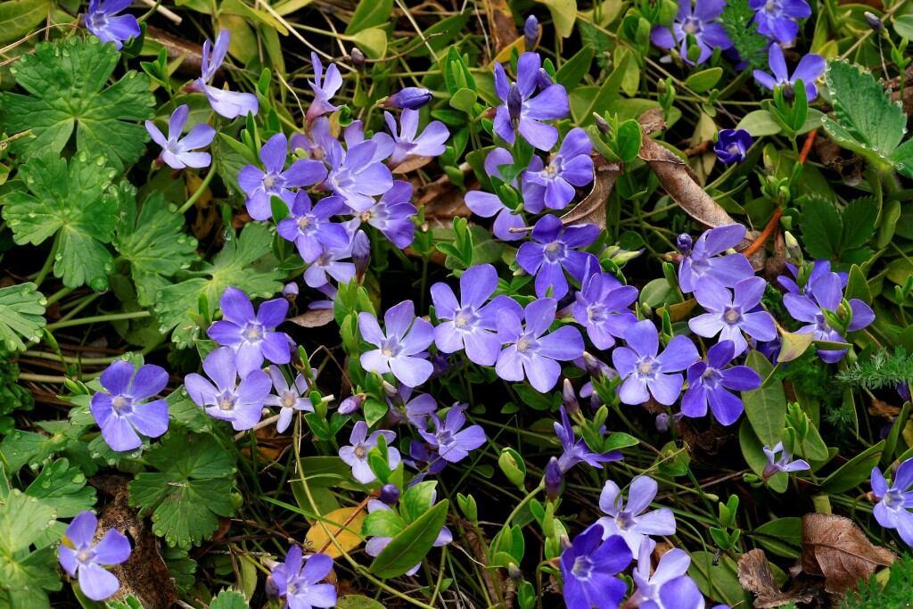 Bodendecker: Das Kleinblättrige Immergrün (Vinca minor)