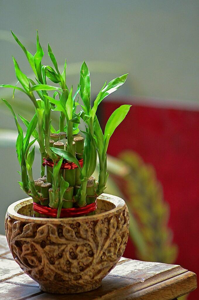 Pflegeleichte Zimmerpflanzen: Glücksbambus
