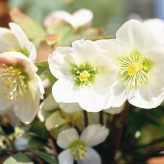 Blühende Christrosen