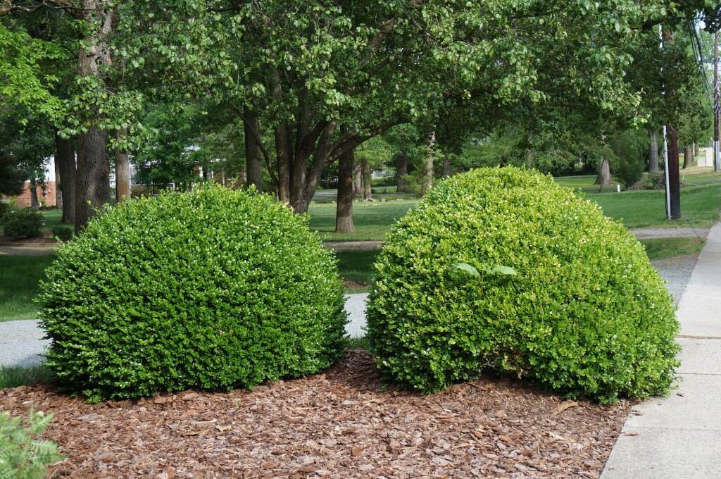 Zwei Buchsbäume (Buxus sempervirens)
