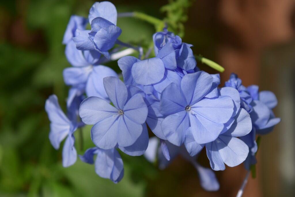 Blühende Schattenpflanzen: Kap-Bleiwurz (Plumbago auriculata)