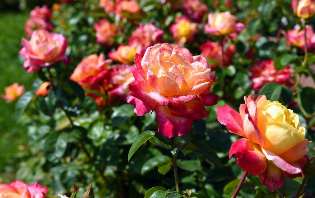 Edelrosen gehörten zu den schönsten Rosen - das scheinen sie zu wissen