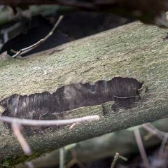 Die Rußrinden-Krankheit an Ahorn-Bäumen breitet sich rasant aus