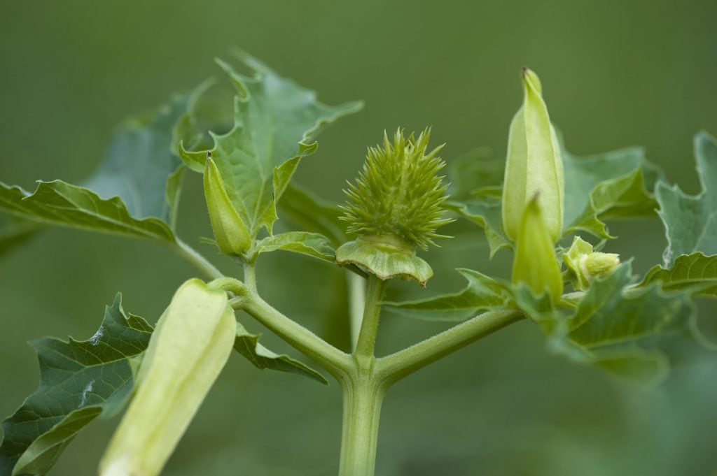 Stechapfelsamen sind hoch giftig, 12 Samen können bei Kindern tödlich sein