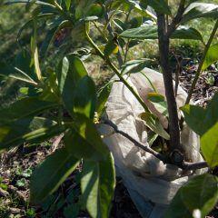 Sobald die erste Frühlingwärme spürbar ist, müssen Pflanzen von ihrem Frostschutz befreit werden