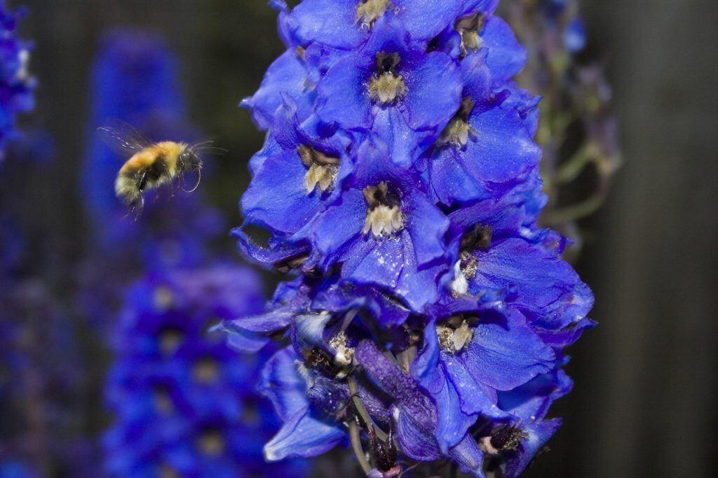 Giftige Pflanzen im Garten: Eine Biene fliegt an eine leuchtend blaue Blüte des Einsenhuts