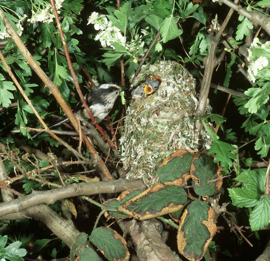 Eine Schwanzmeise füttert einen Jungvogel am Nest