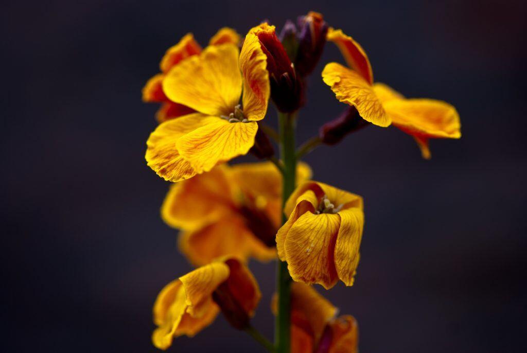 Früher Heilpflanze, heute Giftpflanze: Goldlack