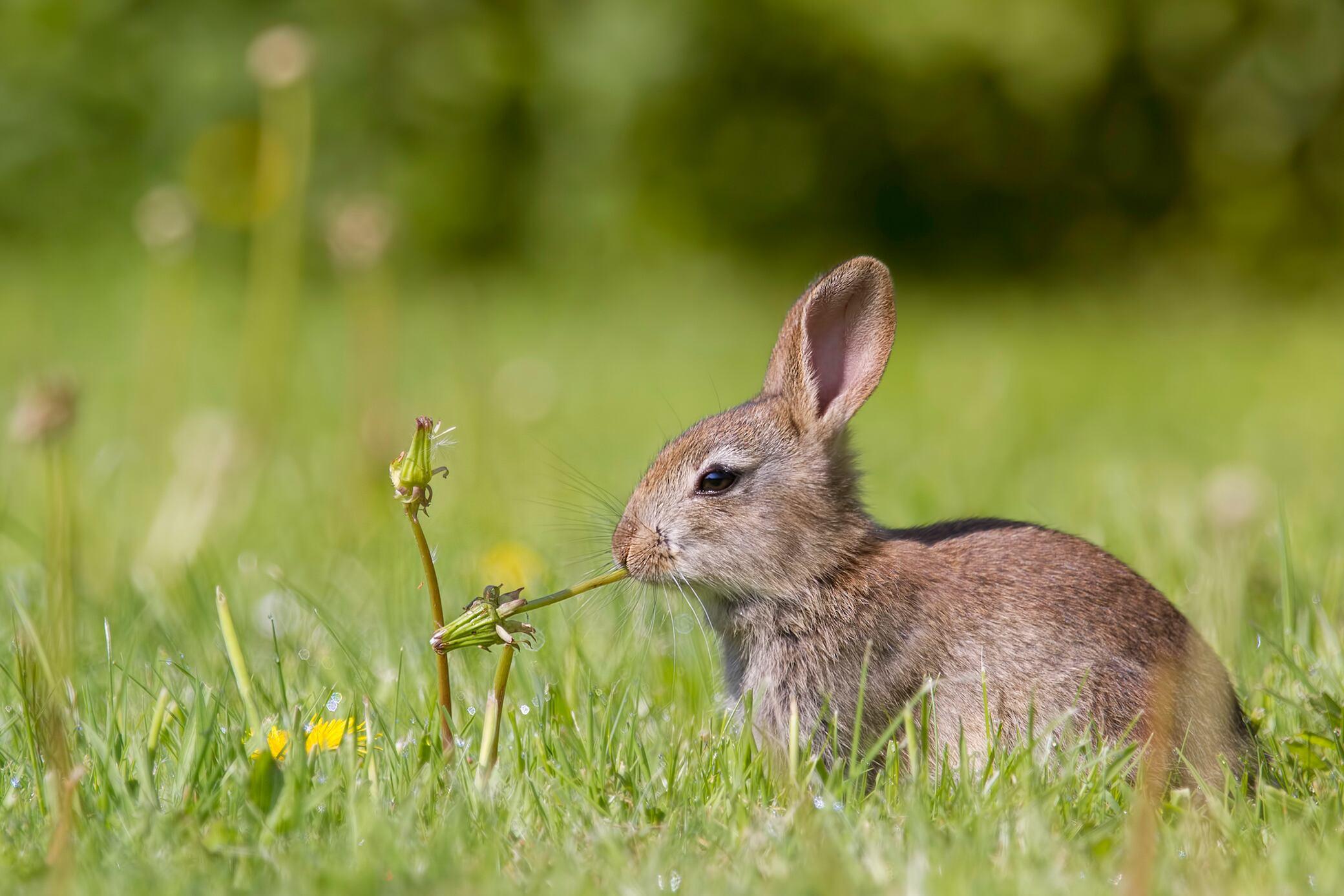 Kaninchen im Garten? Wie man sie schonend wieder loswird