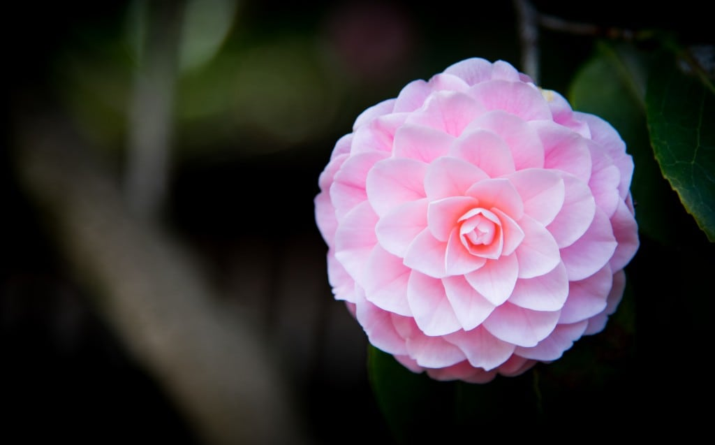 Die Kamelia (hier: Camellia Japonica)