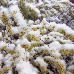 Baumblüten, mit Frost überzogen und Schnee bedeckt