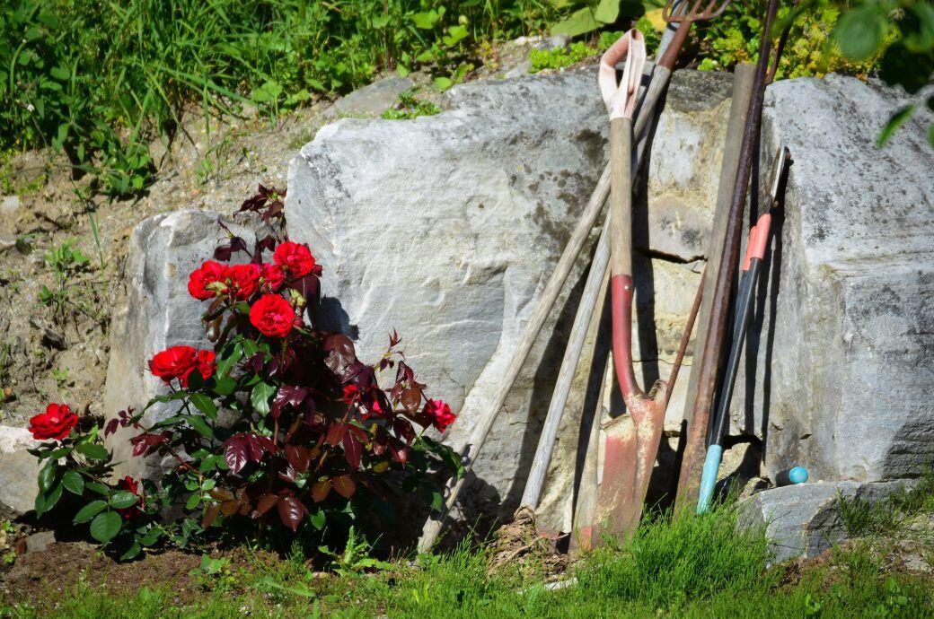Wer seine Rosen umpflanzen möchte, sollte den Umzug gut lanen