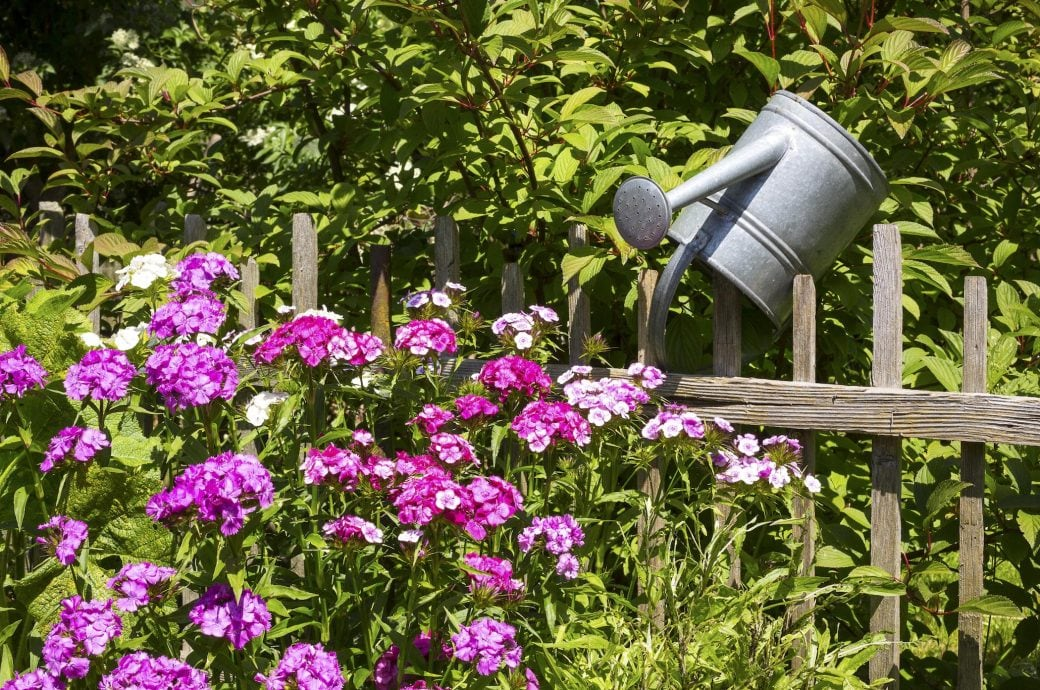 Pflegeleichte Pflanzen Im Garten: Bartnelken