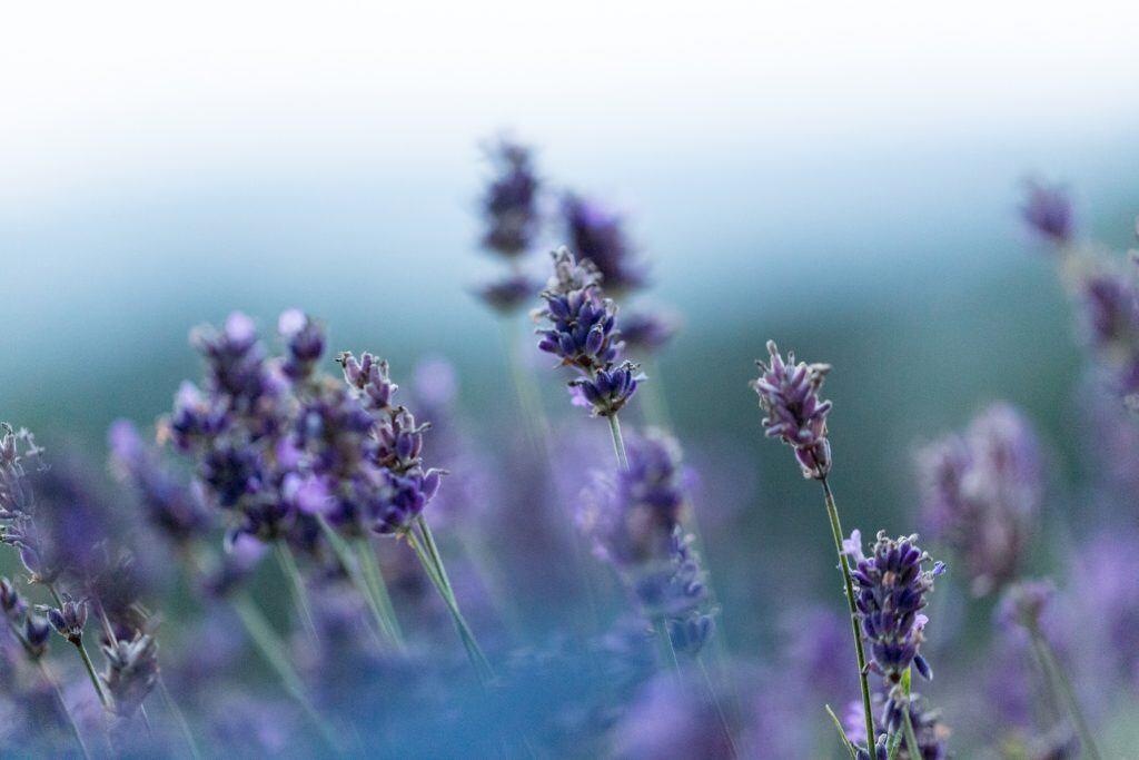 Lavendel ist eins der insektenfreundlichen Kräuter für den Balkon