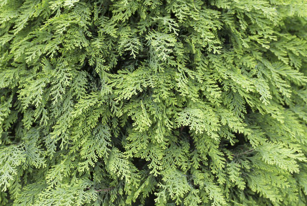 Giftige Pflanzen im Garten: Eine beliebte Heckenpflanze und sehr giftig: Thuja