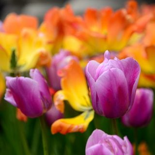 Die sehr beliebte Tulpe ist giftig