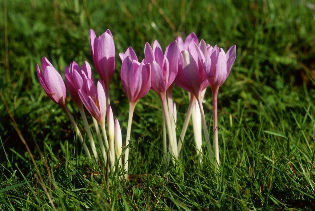 Giftige Pflanzen im Garten: Die Blüte leuchtet Lila, die Samen der Herbstzeitlosen können tödlich sein