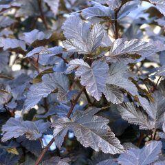 Teufelsstrauch: Physocarpus opulifolius