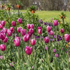 Tulpen und Kaiserkrone blühen schon auf der Buga 2019