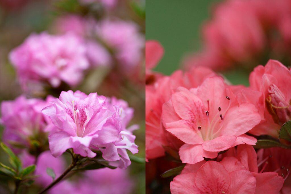 So erkennen Sie den Unterschied zwischen Japanischen und Gartenazaleen