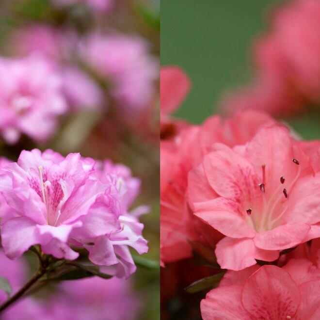 Wie man Japanische Azaleen und Gartenazaleen unterscheidet