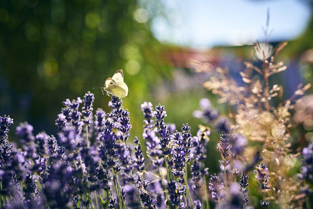 Kohlweißlinge sind mit die häufigsten Schmetterlingsarten
