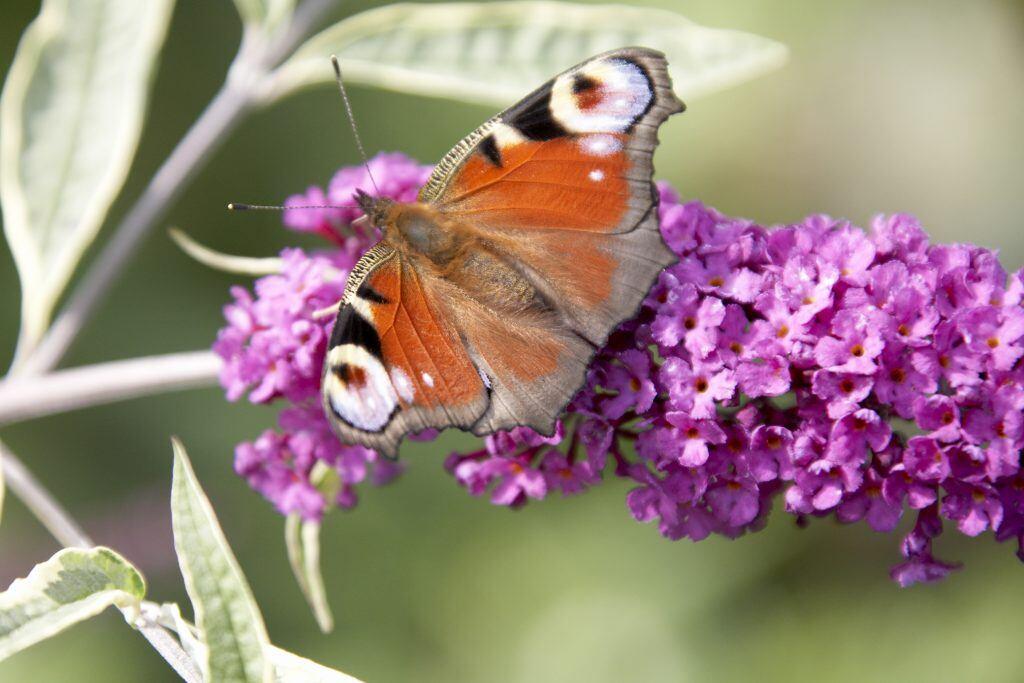 Nichts zieht Schmetterlinge mehr an als Sommerflieder