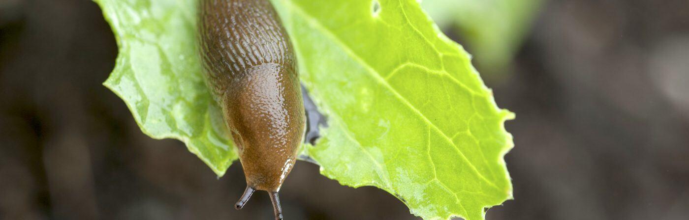 Schnecken frisst Blattgemüse
