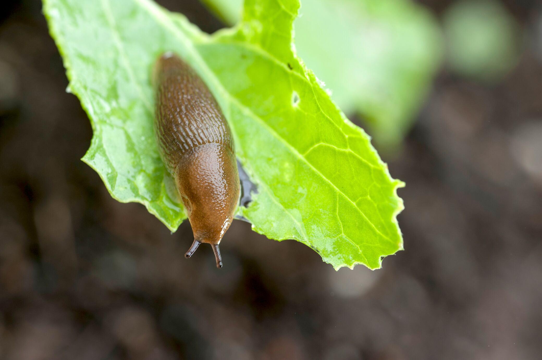Schnecken im Garten ohne Gift effektiv vertreiben